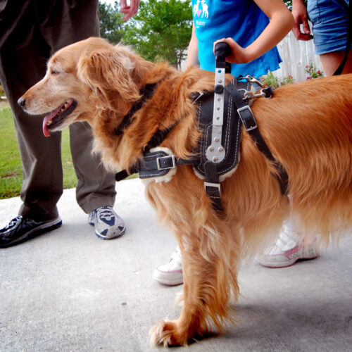 Mobility Support Harness for service dogs by Bold Lead Designs