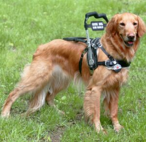 Golden Retriever Bradley in a MSH with guide handle