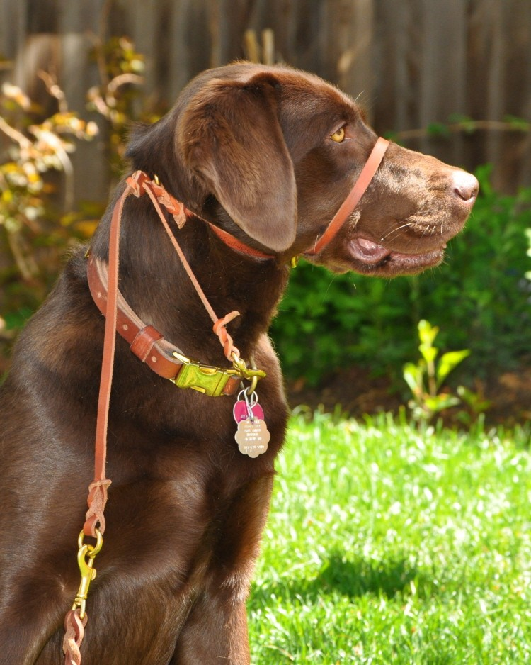 Barley In Perfect Pace Dog Halter