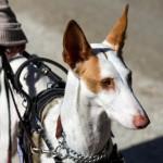 dahlin-ibezan-hound-in-bah