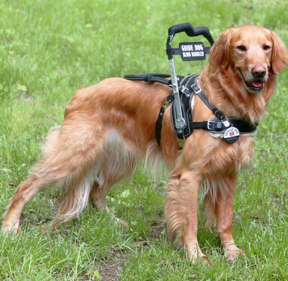 Golden Retriever Mobility Service Dog