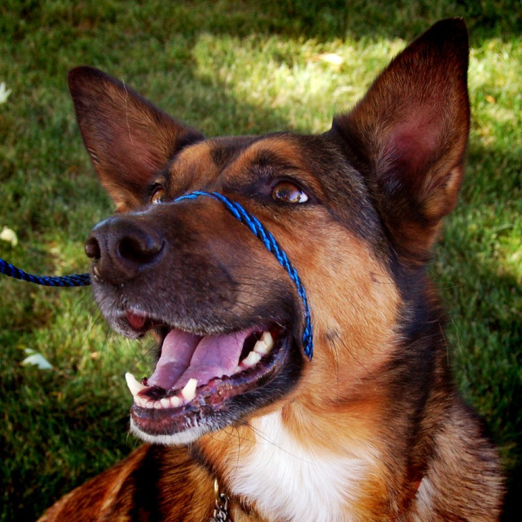 Perfect Pace Halter Leash Combo Stops Pulling Instantly