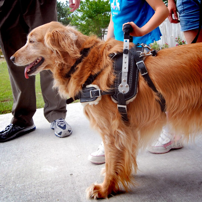 Mobility Support Harness for service dog on golden retriever, with child
