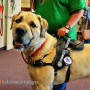 Falcor came in for a fit check on his 6 year old Mobility Support Harness. Bold Lead Designs workshop in Aurora, CO USA