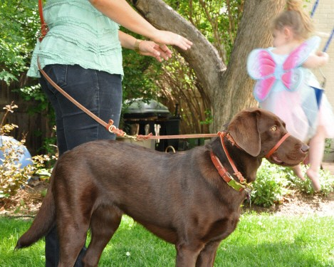 Perfect Pace Dog Halter Stops Pulling Instantly
