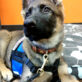 small vest with chest strap on 12 week old GSD puppy 513