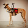buff-standing-with-handle-vest-awesome-grehound-adoptions