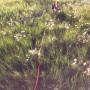 Brahma long line in field at sunset_5422