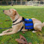 Service Dog Finn with CCH and cape-vest