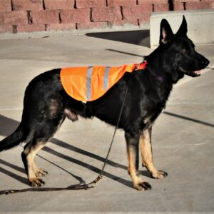 safety-vest-large-size-on-85-poumd-dog_0030